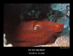 an octopus pretending to be a moray by Stewart Smith 
